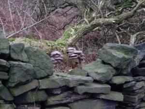 Peak District Oyster Mushrooms