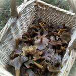 A basket of fresh winter chanterelles