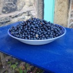Bilberry harvest