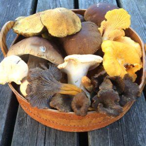 Wild mushroom harvest 2016