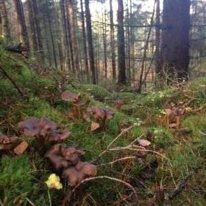 Winter chanterelle or trattkantarell in Swedish